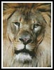 Lion Face - Cross Stitch Chart