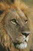 Lions Gaze - Cross Stitch Chart