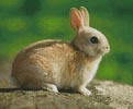 Little Rabbit - Cross Stitch Chart