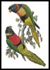 Red Collared and Fosters Lorikeets - Cross Stitch Chart