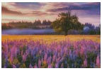 Lupine Sunrise - Cross Stitch Chart