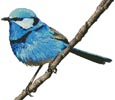 Male Splendid Fairy Wren 2 - Cross Stitch Chart