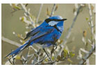 Male Splendid Fairy Wren 3 - Cross Stitch Chart