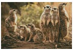Meerkat Family - Cross Stitch Chart
