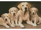 Golden Retrievers - Cross Stitch Chart