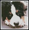 Mini Bernese Mountain Puppy - Cross Stitch Chart