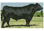 Mini Black Angus - Cross Stitch Chart