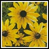 Mini Black-eyed Susan - Cross Stitch Chart