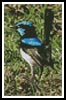 Mini Blue Wren - Cross Stitch Chart