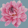 Mini Dahlia - Cross Stitch Chart