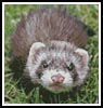 Mini Ferret - Cross Stitch Chart