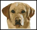 Mini Golden Labrador - Cross Stitch Chart