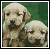 Mini Golden Retriever Puppies - Cross Stitch Chart