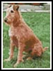 Mini Irish Terrier - Cross Stitch Chart