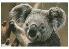 Mini Koala Portrait - Cross Stitch Chart