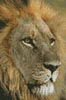 Mini Lions Gaze - Cross Stitch Chart