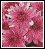 Mini Pink Chrysanthemums - Cross Stitch Chart