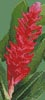 Mini Red Ginger Blossom - Cross Stitch Chart