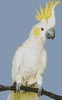 Mini Sulphur Crested Cockatoo - Cross Stitch Chart