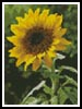Mini Sunflower - Cross Stitch Chart