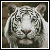 Mini White Tiger 2 - Cross Stitch Chart