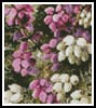 Mini Wild Heath - Cross Stitch Chart
