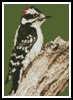 Mini Woodpecker - Cross Stitch Chart
