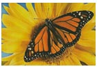 Monarch Sunflower - Cross Stitch Chart