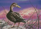 Mottled Duck - Cross Stitch Chart