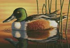 Northern Shoveler - Cross Stitch Chart