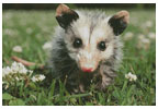 Opossum Joey - Cross Stitch Chart