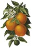 Oranges - Cross Stitch Chart