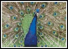 Peacock Display - Cross Stitch Chart