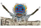 Peacock Spider - Cross Stitch Chart