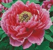 Peony (Crop) - Cross Stitch Chart