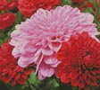 Pink and Red Chrysanthemums - (FB Group) Cross Stitch Chart