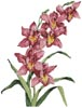 Pink Cymbidium - Cross Stitch Chart