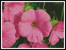 Pink Flowers 2 - Cross Stitch Chart