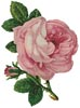 Pink Rose and Bud - Cross Stitch Chart