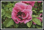 Pink Rose Photo - Cross Stitch Chart