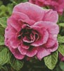 Pink Rose Photo (Crop) - Cross Stitch Chart