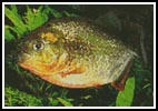 Piranha - Cross Stitch Chart