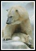 Polar Bear and Cub 2 - Cross Stitch Chart