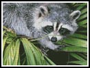 Raccoon - Cross Stitch Chart