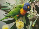 Rainbow Lorikeet - Cross Stitch Chart