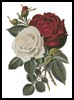 Red and White Roses - Cross Stitch Chart