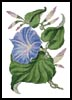 Reddish Blue Morning Glory - Cross Stitch Chart