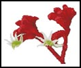Red Kangaroo Paw - Cross Stitch Chart