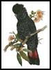 Red Tailed Cockatoo - Cross Stitch Chart