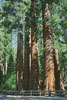 Redwood Trees - Cross Stitch Chart